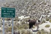 Drive carefully, frequently crossing vicunas!