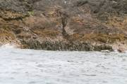 Otter, just missed him as he slips into the water